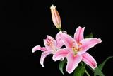 黒背景のユリの花