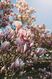 Blooming magnolia at sunset. Beautiful spring flowers