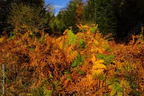 buntes verdorrendes Farnkraut im Herbstwald