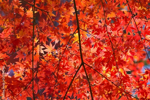 Rred maple leaves in autumn - 261539240