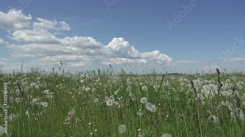 white dandelion field in summer sunny day against the background of the sky with white clouds