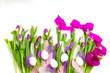 canvas print picture - lila Tulpen auf weißem hintergrund