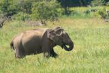 Asian Elephant (Elephas maximus maximus), Yala National Park, Sri Lanka