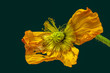 canvas print picture - Floral still life color macro of a single isolated fading yellow red satin / silk poppy on green background in surrealistic vintage painting style