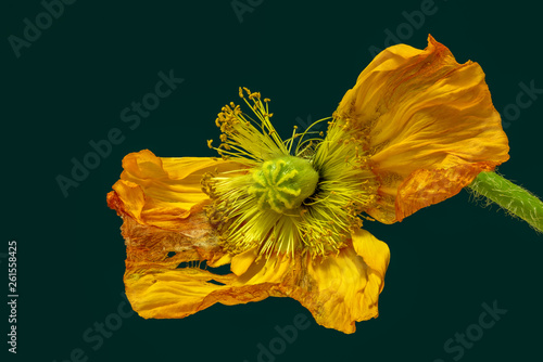canvas print picture Floral still life color macro of a single isolated fading yellow red satin / silk poppy on green background in surrealistic vintage painting style