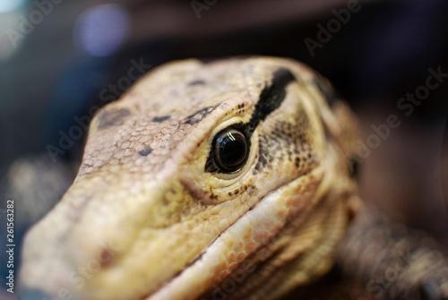 canvas print picture  Reptile