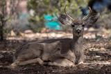 male mule deer with antlers