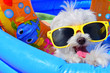 canvas print picture - funny dog puppy with sunglasses in the pool