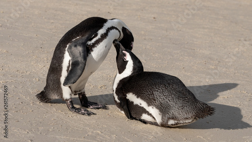 Fototapeten Pinguine African penguins at Boulders Beach in Simonstown, Cape Town, South Africa.