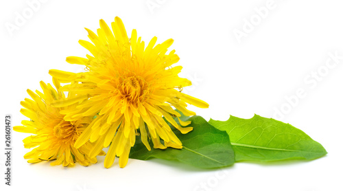 Two dandelions with leaves. - 261601473