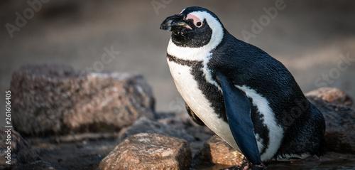 Fototapeten Pinguine Pinguin, Schnabeltier, Bird, Tier, wild lebende Tiere, black, natur, weiß
