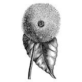 Engraving Sunflowers Helianthus Flowers Vintage Illustrations