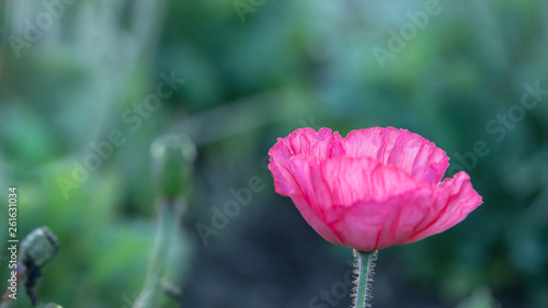 Pink poppy blossom covered with early morning dew.  Backlit by low angle sunlight.  Green textured background of out of focus stems and leaves. - 261631034