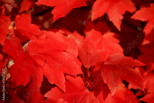 Red Leaves - 261650257
