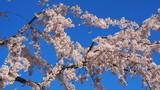 栗林公園の桜2