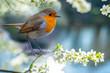 Red Robin (Erithacus rubecula) bird close up in the spring garden