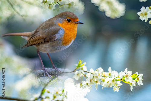 Red Robin (Erithacus rubecula) bird close up in the spring garden © Vera Kuttelvaserova