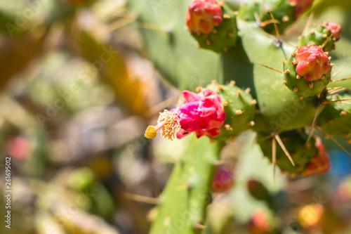 Beautiful blooming wild desert cactus flower - 261695012