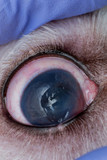eye of a dog with deep corneal ulcer closeup
