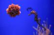 Leinwandbild Motiv Sea urchin and seahorse in the foreground