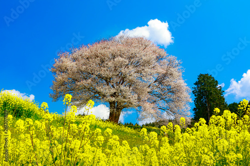 canvas print picture 馬場の山桜