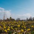 canvas print picture - Gelbe Wiesenblumen