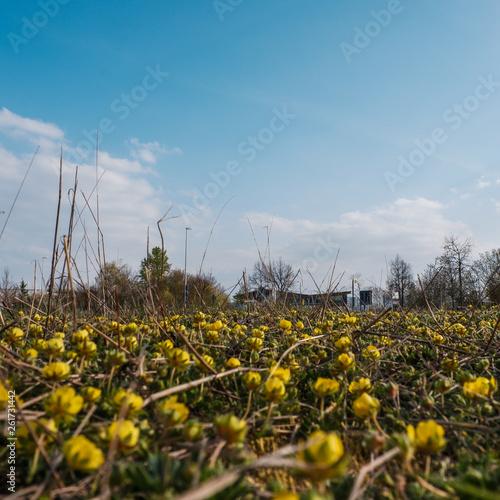 canvas print picture Gelbe Wiesenblumen