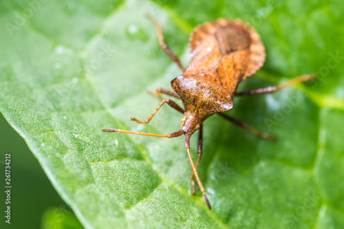 brown beetle on a green leaf after the rain, long mustache - 261734212
