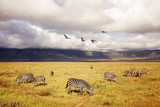 African zebras on a background of beautiful clouds in the savannah. Ngorongoro crater. Tanzania. Africa.
