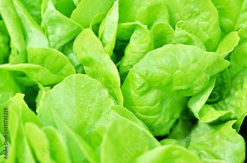 Salad texture. Green lettuce growing in vegetable garden. - 261765228