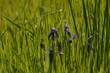 canvas print picture - clochettes violettes
