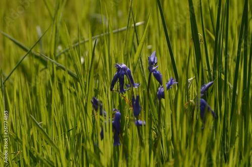 canvas print picture clochettes violettes