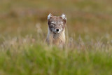 Arctic Fox, Vulpes lagopus, cute animal portrait in the nature habitat, grassy meadow with flowers, Svalbard, Norway. Beautiful wild animal in the grass.