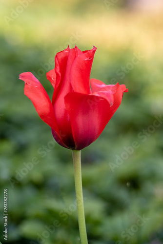 Close-up of reg tulip on blurred background © Marie-Beatrice Rich