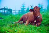 Dairy cow lying at meadow