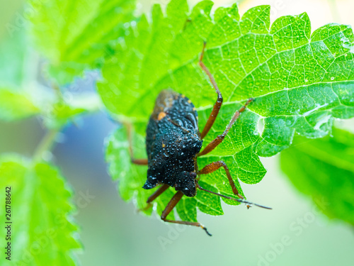 Leinwandbild Motiv Forest bug, red-legged shieldbug (Pentatoma rufipes)on a green leaf