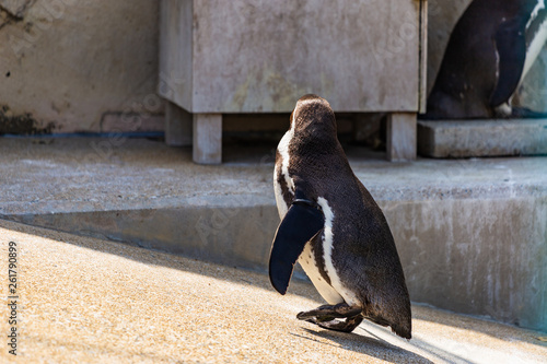 Fototapeten Pinguine フンボルトペンギン