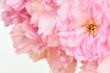 canvas print picture - Rosa Kirschblüte, Makroaufnahme, geringe Tiefe, weiche Farben, weisser Hintergund