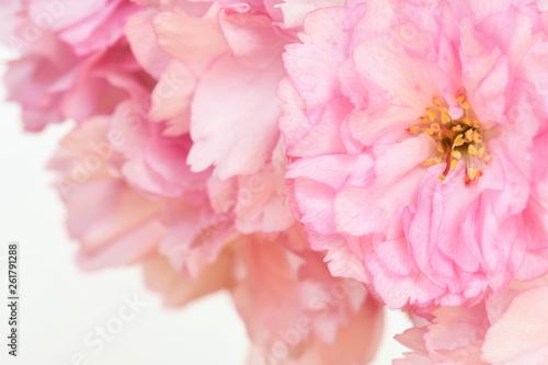 canvas print picture Rosa Kirschblüte, Makroaufnahme, geringe Tiefe, weiche Farben, weisser Hintergund