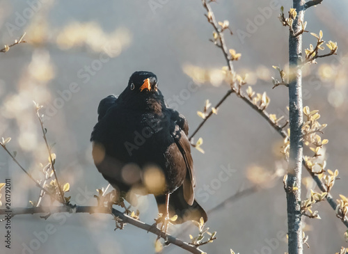 canvas print picture Amsel im Strauch