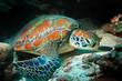 Quadro sea turtle underwater / exotic nature sea animal underwater turtle
