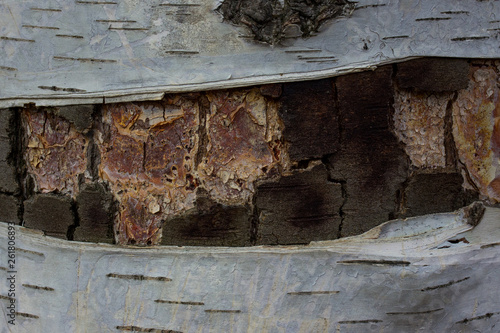multicolored birch texture with partially peeled bark close-up bewitching forest patterns - 261806893