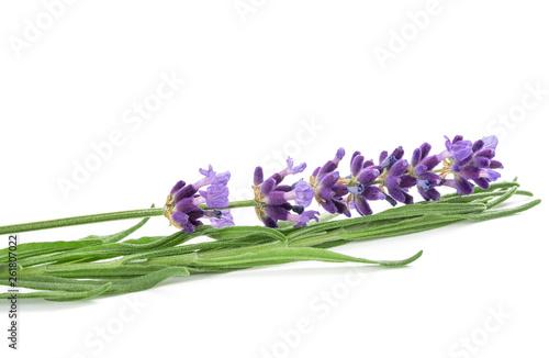 Lavender flower - 261807022