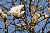 Blooming white magnolia flower on the tree