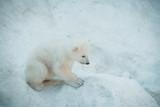 Funny polar little bear.