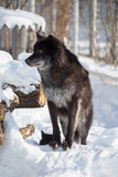 Cute black canadian wolf is standing on a white snow. Canis lupus pambasileus.