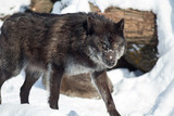 Black canadian wolf is looking at the camera. Canis lupus pambasileus.