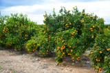 Ripe mandarin oranges on trees