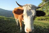 Milchkuh auf der Alm