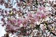 canvas print picture - Blick von unten in einen blühenden Magnolienbaum